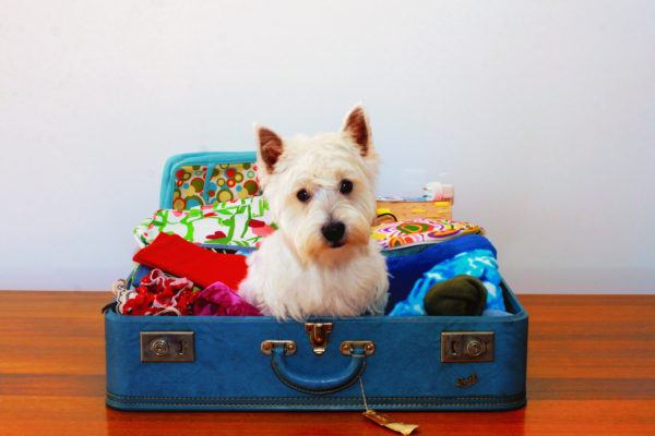 A fluffy white dog in a suitcase, wanting to go on vacation too.